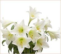 Ramo de liliums blancos