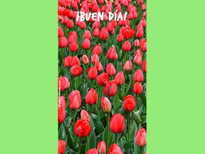 Buen día con tulipanes