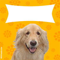 Golden Retriever alegre