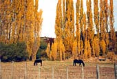 Horses and poplars